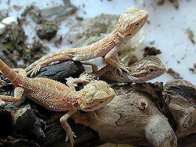 Reptile Forum, Reptile Classifieds - CaptiveBred :: View ...